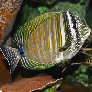 Zebrasoma desjardinii ovvero il pesce chirurgo tigrato