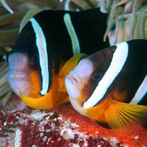 Coppia di esemplari di pesci pagliaccio dalla coda gialla