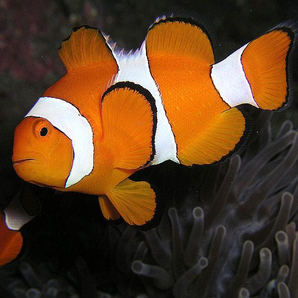 Pesce pagliaccio occidentale