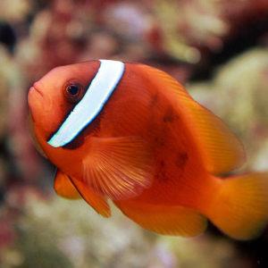 Pesce pagliaccio pomodoro