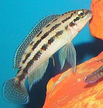 Julidochromis dikfeldi medio-grande