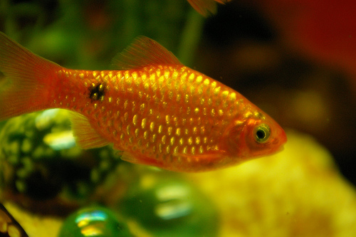 Barbus conchonius gold red neon 6 es.