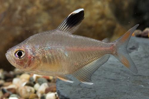 Hypressobrycon ornatus white fin