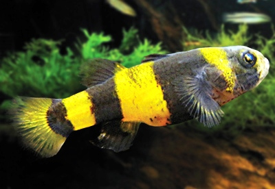 Brachygobius Doriae ml Pesce Ape n. 6 Esemplari