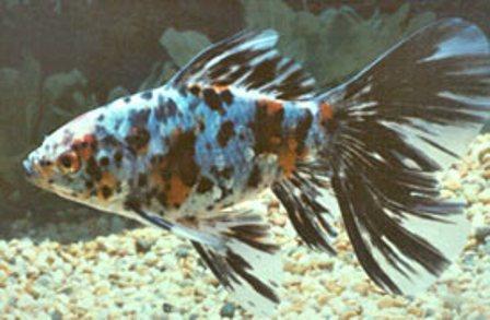 Shubunkin blu coda lunga 12-15 cm