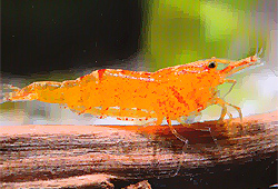 Gamberetto Caridina Sunkist Mandarin
