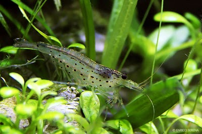 Gamberetto Caridina Japonica (T.Amano) n. 5 Esemplari