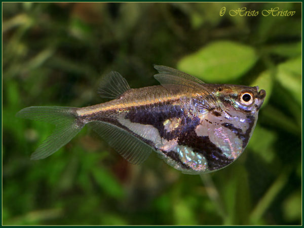 Carnegiella Striata lg (Pesce Accetta) n. 6 Esemplari