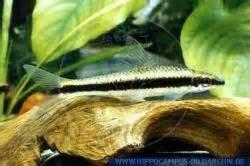 Epalzeorynchus Siamenisis n° 6 Esemplari