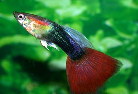 Guppy red neon