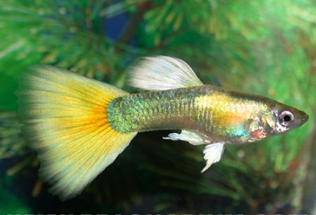 Guppy maschio yellow