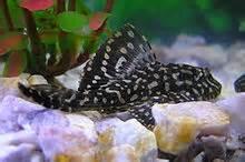 Pterygoplichthys joselimaianus L022 / L001