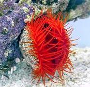 Lima Scabra Red n. 1 Esemplare