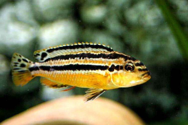 Melanochromis Auratus ml n. 1 Esemplare