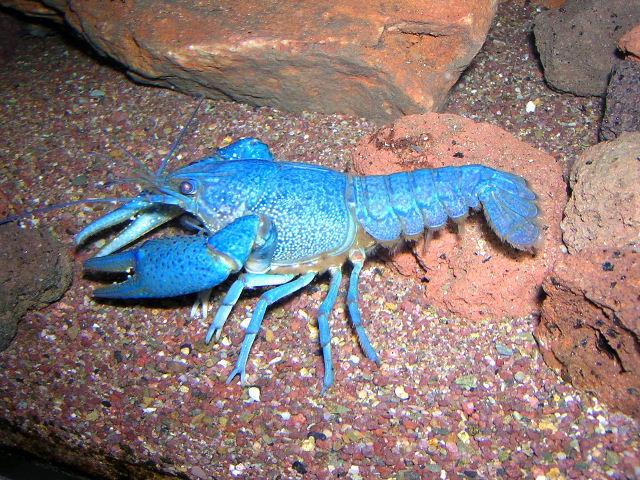 Procambarus alleni blu