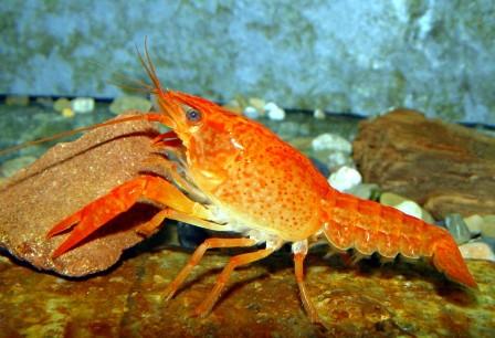 Procambarus clarkii arancione