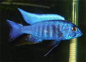 Sciaenochromis Freyeri/Ahli ml-lg n. 1 Esemplare