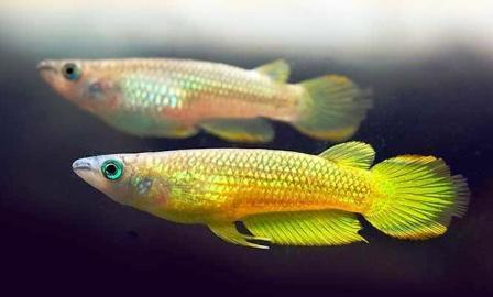 Aplocheilus lineatus gold lg 4 esemplari