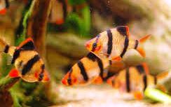 Barbus Tetrazona ml-lg n. 6 Esemplari