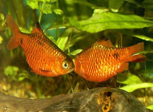 Barbus conchonius red neon 6 es.