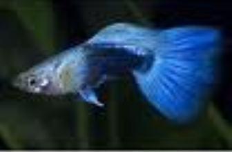 Guppy maschio blu neon