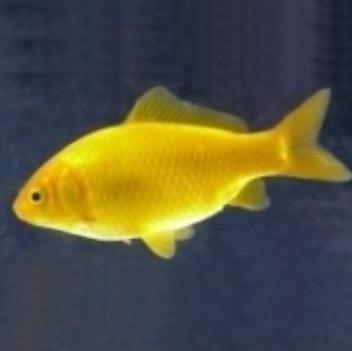 pesce giallo canarino 5-7 cm n° 10 Esemplari