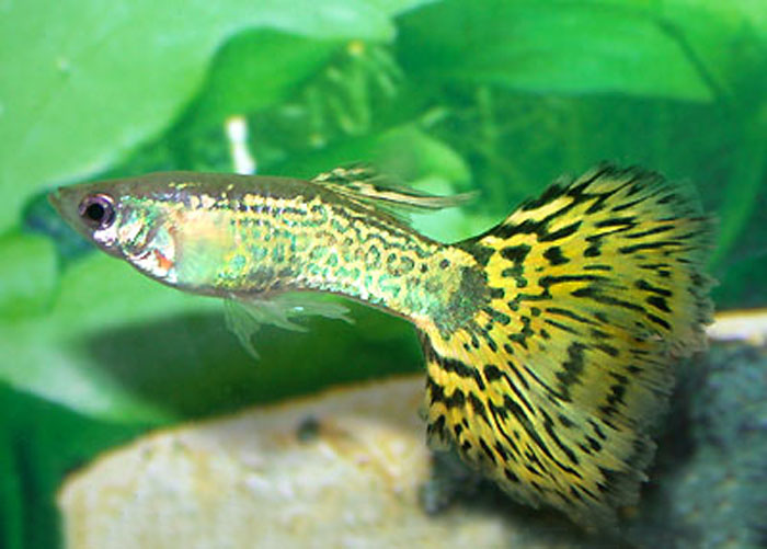 Guppy maschio king green cobra