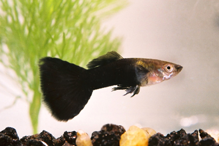 Guppy maschio black