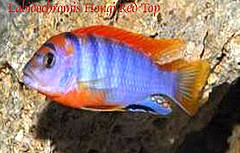 Labidochromis Hongi Super Red Top ml n. 1 Esemplare