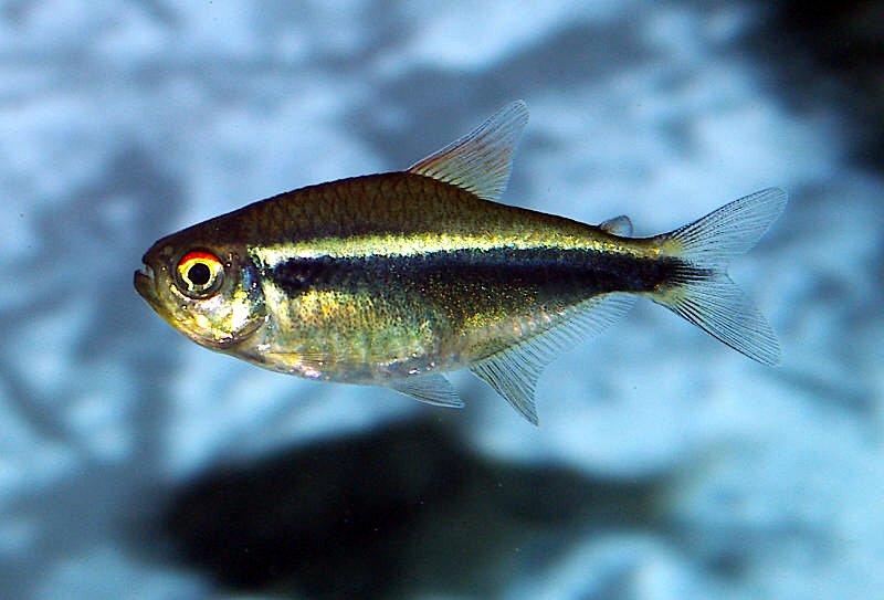 Hyphessobrycon herbetaxelrodi