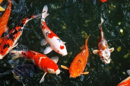 Carpa Koi Mix Extragrande 60-65 cm