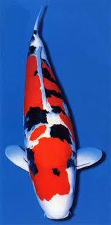 Carpa Koi Sanke 12-14 cm N° 1 esemplare