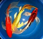 Carpa Koi Mix Pinne a Velo 12-14 cm