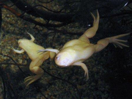 Xenopus laevis gold