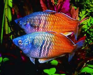 Melanotaenia Boesemanni Super Color ml (Pesce Arcobaleno) n. 4 Esemplari