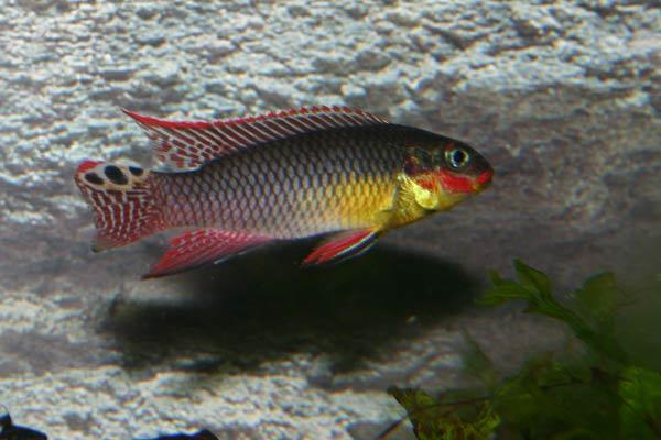 pelvicachromis taeniatus dehae grande 1 esemplare