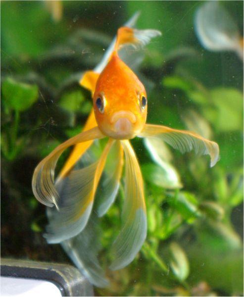 Pesce Rosso Cometa 6-7 cm n. 10 Esemplari