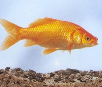Pesce rosso comune 18-20 cm