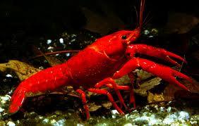 Procambarus clarkii rosso