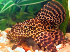 Pterygoplichthys Gibbiceps sm-ml n. 1 Esemplare