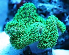 Sarcophyton sp. Green