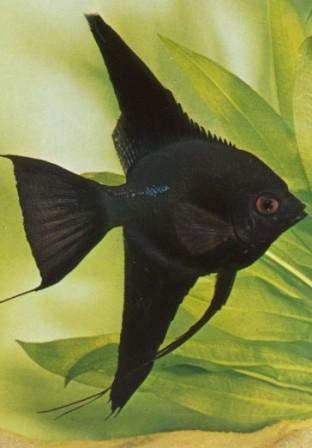 Scalare Black ml n. 1 Esemplare