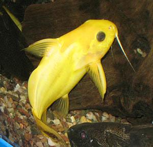 Synodontis nigrita lemon