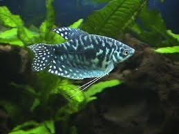 Trichogaster Blu Cosby ml n. 2 Esemplari