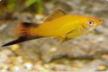 xiphophorus helleri pinapple wag