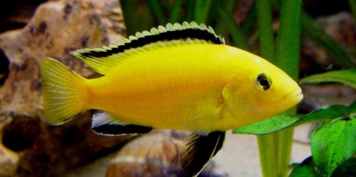 Labidochromis Coerules Yellow ml n. 1 Esemplare